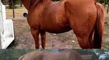 Dumor Weight Booster for horses and dogs